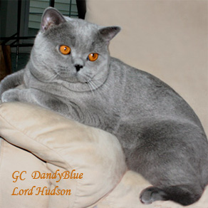 Grey british shorthair cat for sale